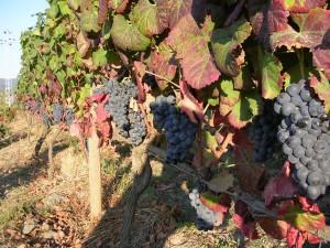 Druer klar til høst